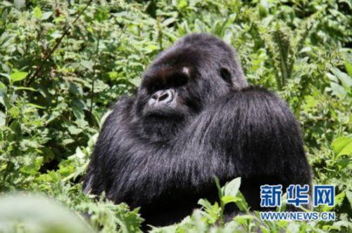 """在卢旺达探访山地大猩猩近距离感受""""金刚"""""""
