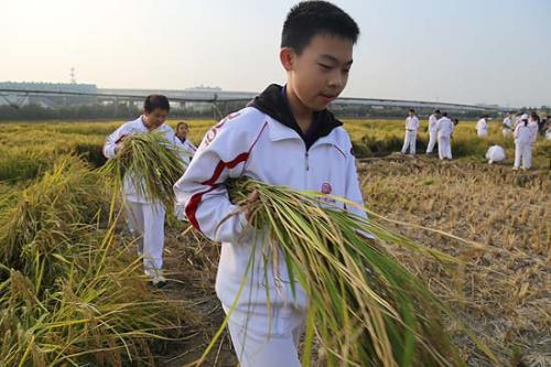 正在接受学农教育的初中学生,手拿刚收割完的水稻,准备运到脱粒区进行传统人工脱粒。肖作岭/摄