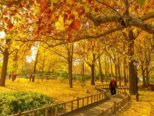 天气渐寒,京城落叶缤纷,市属公园拥有众多古树名木的,目前,公园内的落叶景观迎来了最佳观赏期。记者今天从北京市公园管理中心获悉,北京市属公园首次尝试不立即清扫景区落叶,以延长秋景观赏时间,打造20处最美落英缤纷赏秋景点。随着彩叶随风飘落,散落在景观绿地中,在晚秋暖阳的照耀下格外美丽,构成一幅落英缤纷的独特画卷。据悉,下周起由于落叶水分减少,出于公园防火安全考虑,将陆续进行集中清理。 今天上午,记者在陶然亭公园看到,潭影流金、独醒亭等多个景区已是银杏叶铺地,满目金黄,处处成景,吸引众多游客。其中爱晚亭