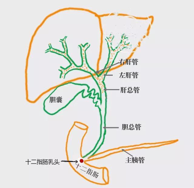 肝脏分泌胆汁,在正常的生理结构下,胆汁会顺着肝总管进入胆囊,并储存