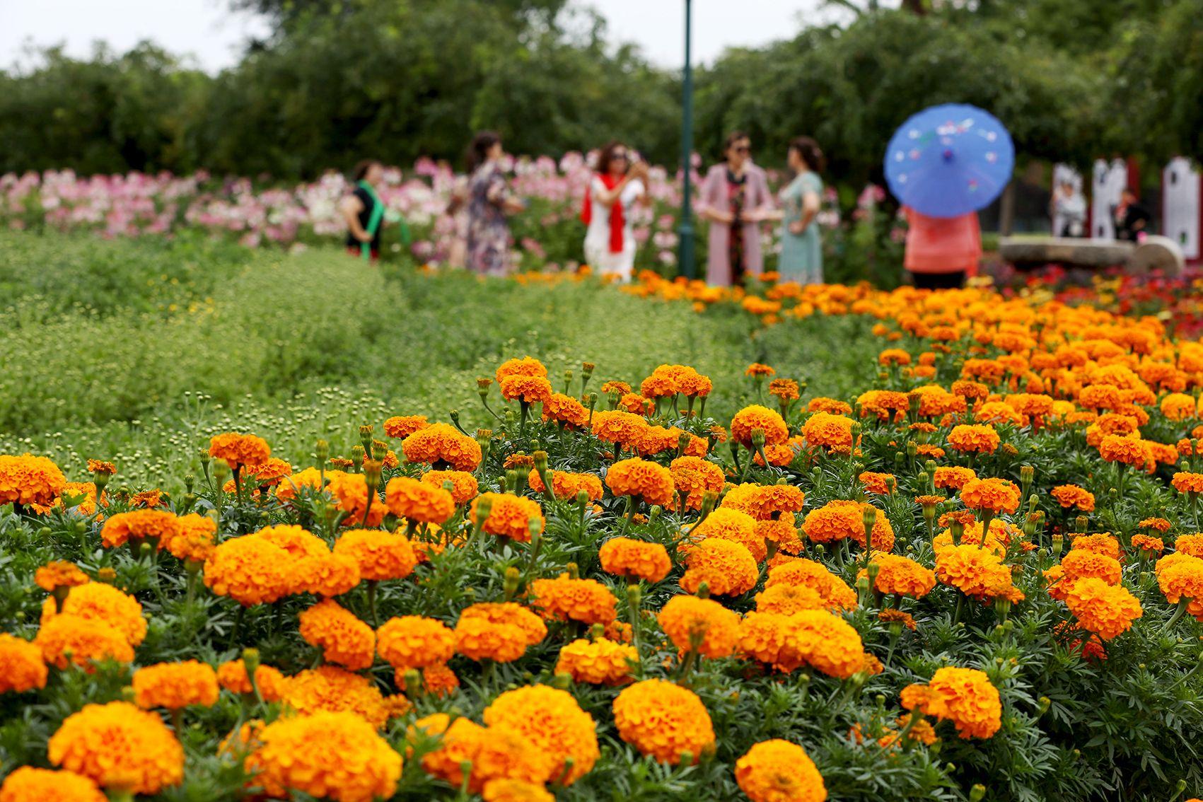 北京菊花文化节来了!近800个菊