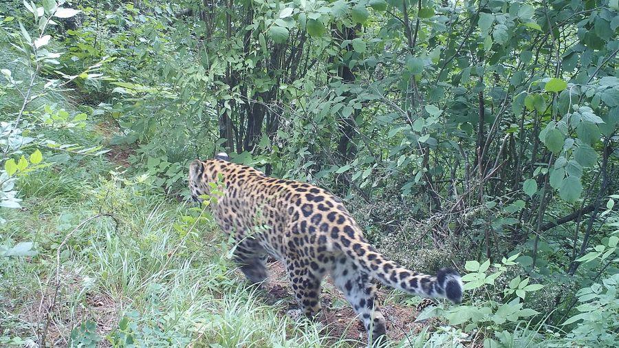 甘肃关山林区发现一级保护动物金