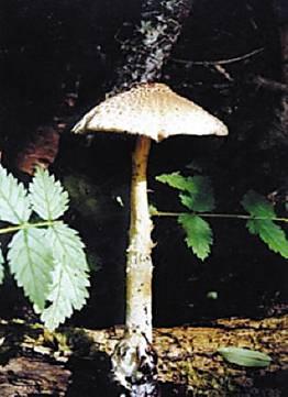 平菇菌褶横切结构图